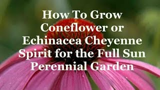 How To Grow Coneflower or Echinacea Cheyenne Spirit for the Full Sun Perennial Garden
