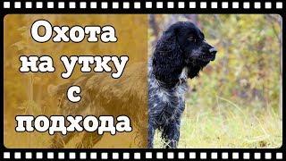 Охота на утку с подхода с Русским спаниелем в Томской области