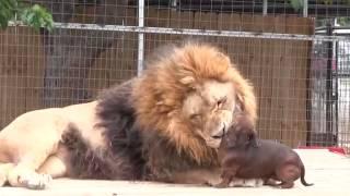 Un petit chien fait le dentiste pour un gros Lion