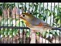 Burung Robin Gacor Suara Ngeplong Berkicau Merdu  Mp3 - Mp4 Download