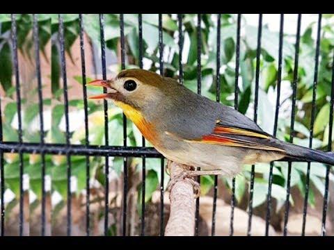 Suara Burung Robin