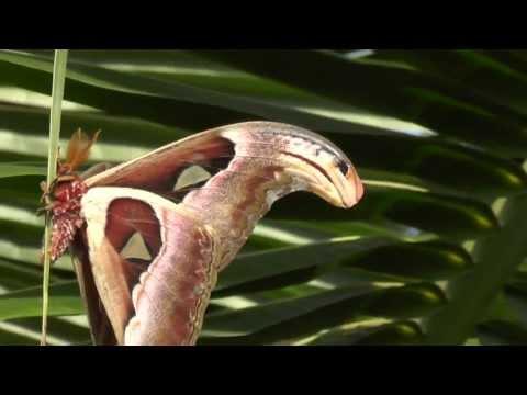 Самая большая бабочка на планете. Бабочка с головой змеи на крыльях Павлиноглазка атлас