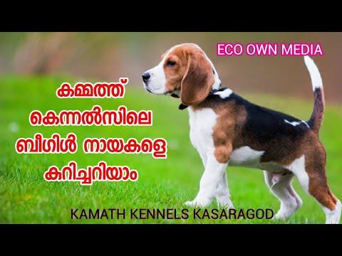 Beagle dog breed details | ബീഗിൾ നായയെ കുറിച്ച് നിങ്ങൾ അറിഞ്ഞിരിക്കേണ്ടതെല്ലാം.