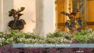 why-to-plant-spring-sonata-indian-hawthorne-from-southern-living-with-its-white-spring-flowers