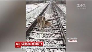 На Закарпатті дві доби поспіль пес не відходив від пораненої собаки, яка потрапила під потяг