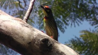 Coppersmith Barbet/นกตีทอง