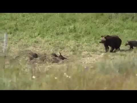 Grizzly bear and her cubs going back to bison carcass - Yellowstone
