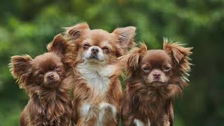 Getting To Know Your Dog's Breed: Chihuahua Edition