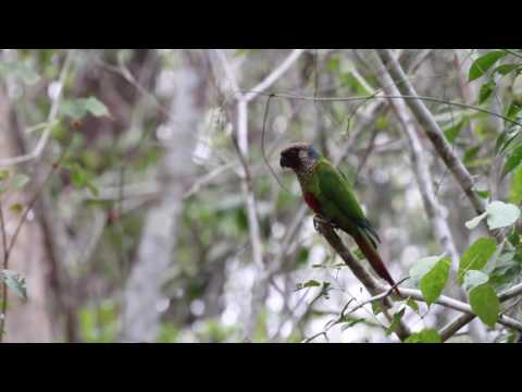 Tiriba de orelha branca(Pyrrhura leucotis) – Maroon-faced Parkeet