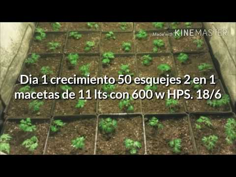 SOG 2 en 1. Sea of green CHRONIC serious seeds.  Seguimiento indoor