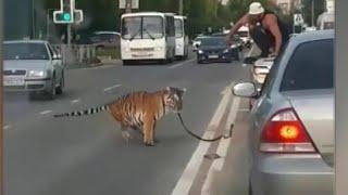 В Иванове тигр выпрыгнул из окна автомобиля и отправился гулять по шоссе.