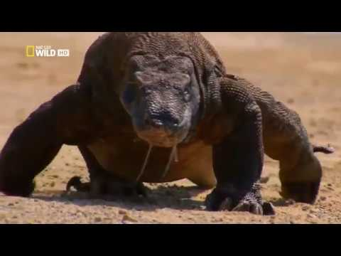 Komodo Dragon Fight with lions || Must Watch Video || BBC ...