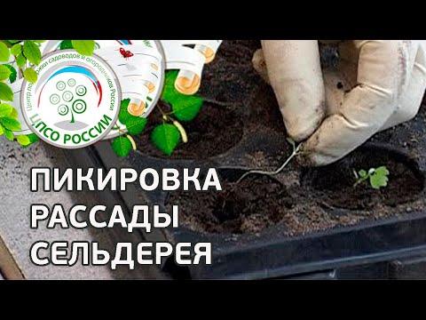 Посадка корневого сельдерея на рассаду и в открытый грунт