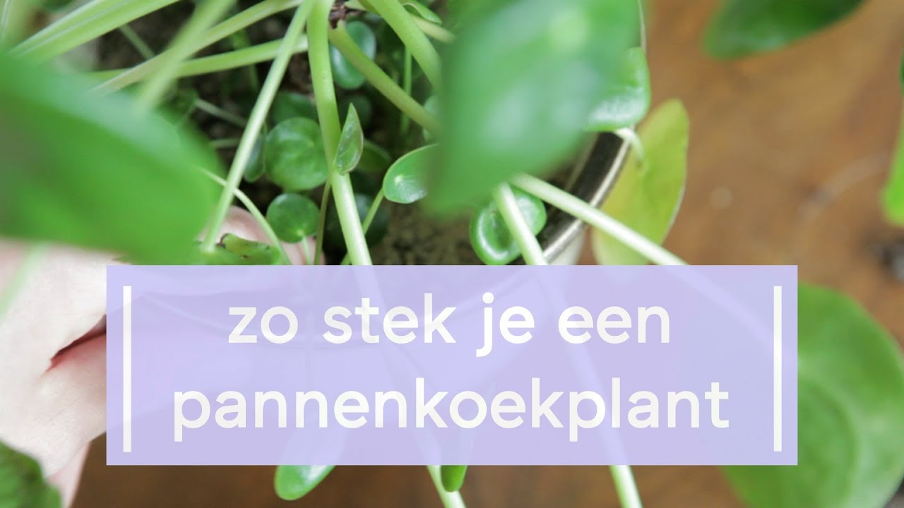 Pannenkoekenplant Waar Te Koop How To Propagate The Chinese Money Plant