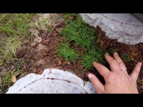 Мшанка как сделать из нее газон