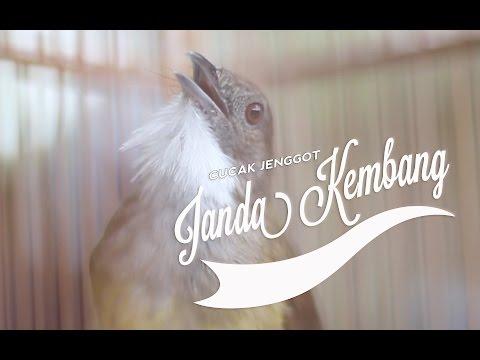 SUARA BURUNG : Cucak Jenggot JANDA KEMBANG Dari Sumedang Gacor Panjang Mantap