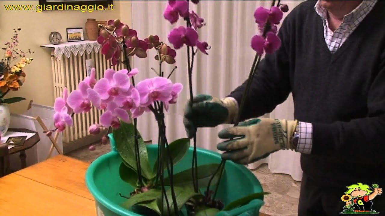 Coltivazione delle orchidee youtube for Orchidee in casa