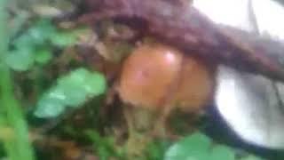 Грибний бум. У буковинських лісах багатий урожай білих грибів