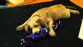 Diesel (long Hair Weimaraner Puppy) 8 Weeks 6 Days Old, Chewing On Purple Rope