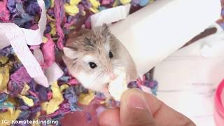 Hamsterdingding.貪吃的小路寶.倉鼠.小露寶.小路寶.老公公鼠