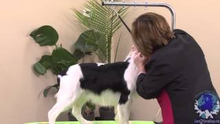 Grooming A Natural Backed Pet Springer Spaniel Combined With Gentle & Effective Handling Skills