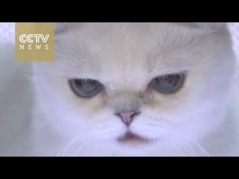 Cute alert! International Cat Show kicks off in Chengdu