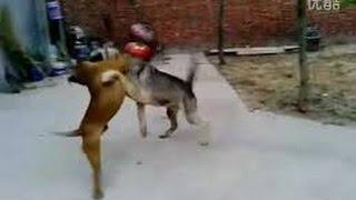 Wolves Kill a Pitbull Full Version!!!