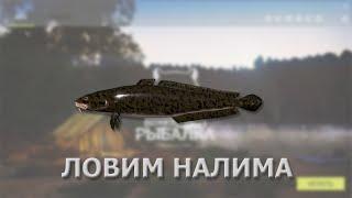 Русская Рыбалка 4 (Russian Fishing) - стрим. Налим и Вырезуб