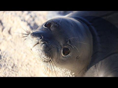 Saving Hawaiian Monk Seals