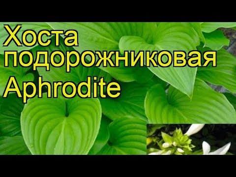 Хоста подорожниковая Афродита. Краткий обзор, описание характеристик hosta plantaginea Aphrodite