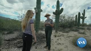 Saguaros: Arizona's Iconic Cacti
