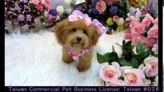 Big Teacup Poodle 304 Update