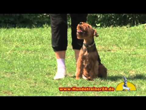 Rock 'n' Roll Welsh Terrier 'Dana'