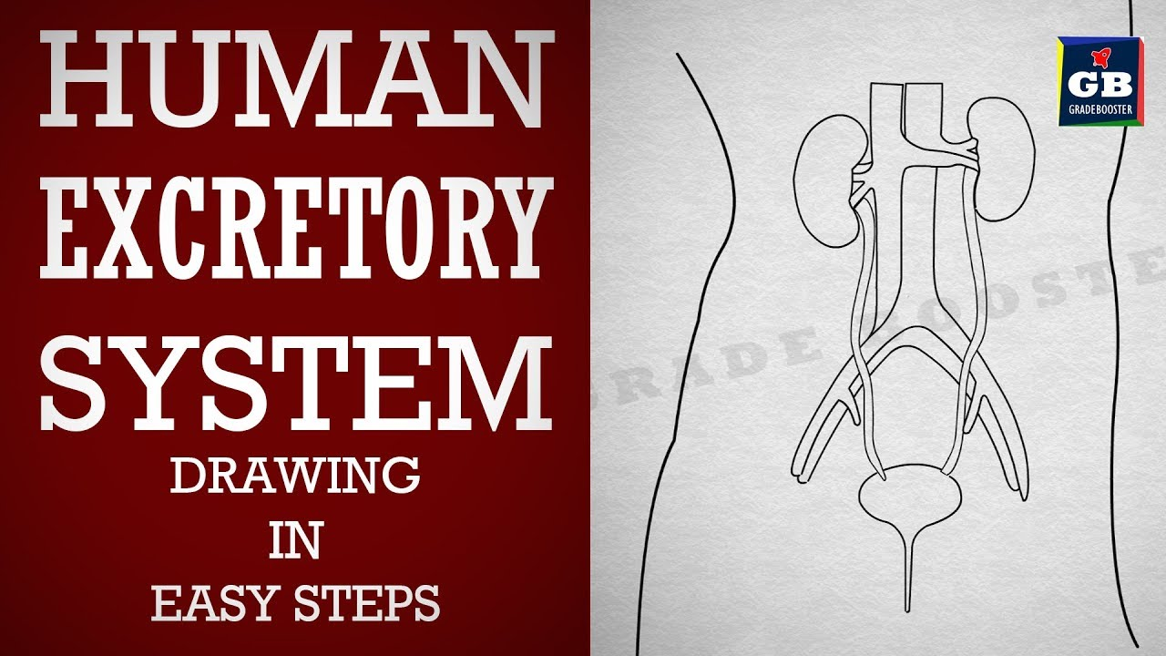 How To Draw Human  Excretory System In Easy Steps  Life