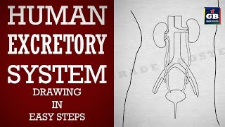 How to draw human #excretory system in easy steps :Life processes : Biology :ncert class 10 :Science