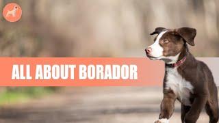 Border Collie Lab Mix (Borador): Dog Breed Info