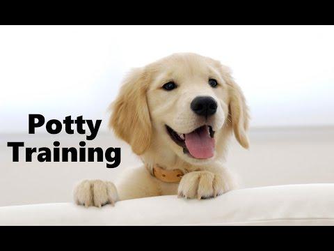 how-to-potty-train-a-golden-retriever-puppy---golden-retriever-training---golden-retriever-puppies