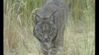 Stunning Iberian lynx could be the first cat species to become extinct since the saber-toothed cat