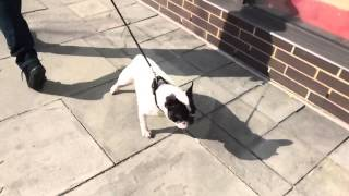 Barking And Lunging French Bulldog Learns To Walk Calmly On Leash