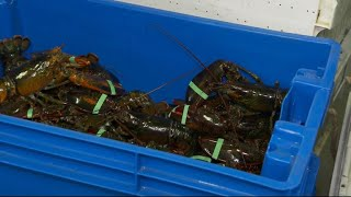 Lobster industry feeling impact of U.S.-China trade war