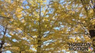 FULL HD 1080P 美的因 日本 銀杏 銀杏樹 黃銀杏 Yellow Gingko leaves aq0000025