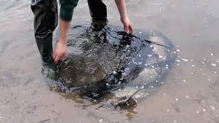 Новое видео Вот это карпы на свободу Запуск карпов в озеро