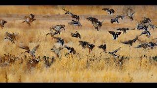Duck Hunting Mayhem in North Dakota