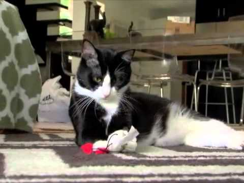 Adopted! - Sweet Polydactyl Tuxedo Cat - Mr. Feets - Original Song!