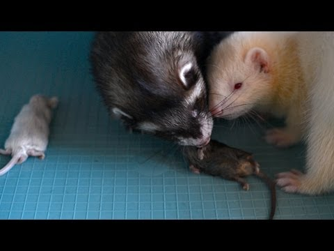 ferret Spike and puppy Yuki eating a mouse