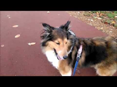 Autumn stroll with my Shetland Sheepdog