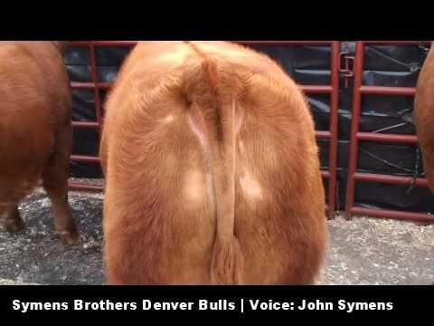 Symens Brothers Limousin 2010 Denver Bulls