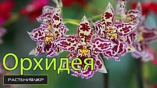 Как ухаживать за орхидеей? / Орхидея Камбрия уход в домашних условиях(Орхидные, или Ятрышниковые, также Орхидеи (лат. Orchidaceae) — крупнейшее семейство однодольных растений. Орхидн..., 2014-12-27T20:18:38.000Z)