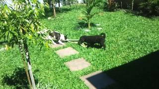 Bulldog X Poodle - Cabo De Força.