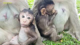 Ah what Flit baby monkey doing on his private place? Flit what are you doing baby?Mila troop monkeys